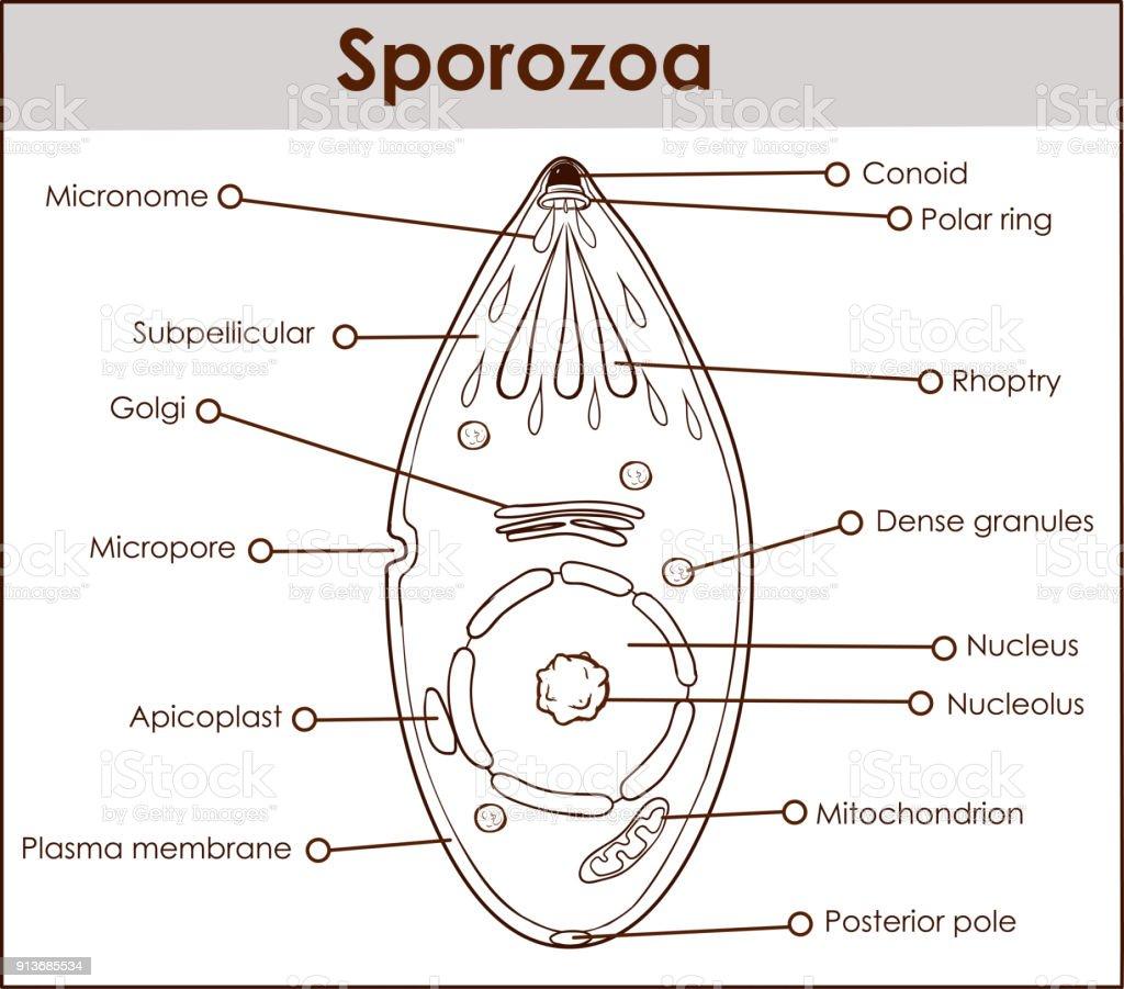 Ilustrao de ilustrao em vetor de um sporozoa e mais banco de ilustrao em vetor de um sporozoa ilustrao de ilustrao em vetor de um sporozoa e mais ccuart Choice Image