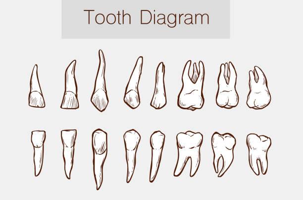 bildbanksillustrationer, clip art samt tecknat material och ikoner med vektor illustration av en tänder anatomi - molar
