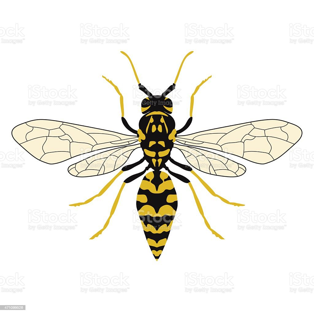 Vector illustration of a wasp. Top view. vector art illustration