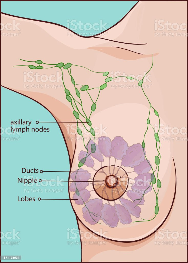 vector illustration of a woman breast anatomy vector art illustration