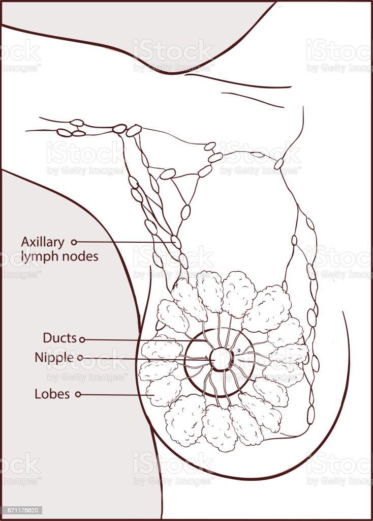 Vector Illustration Of A Woman Breast Anatomy Stock Vector Art