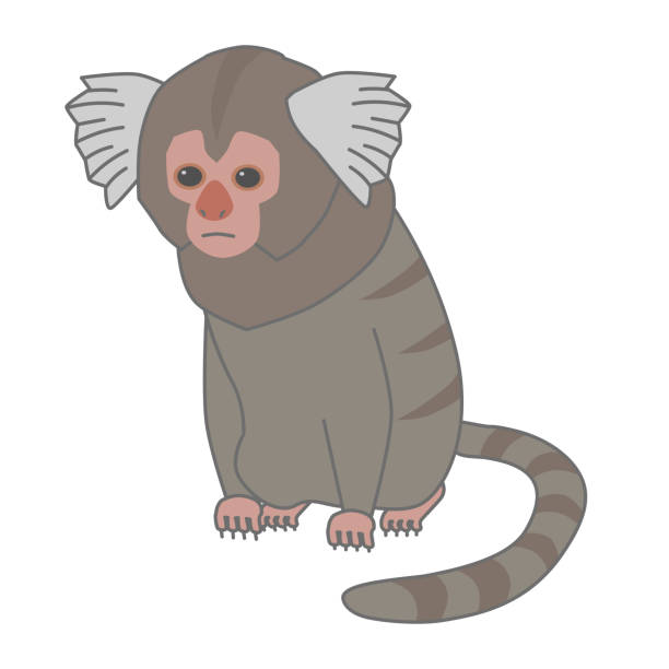 Vector illustration of a young common marmoset Vector illustration of a young common marmoset common marmoset stock illustrations