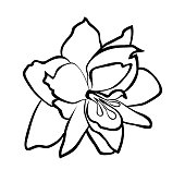 Vector illustration, isolated Amaryllis flower in black and white colors