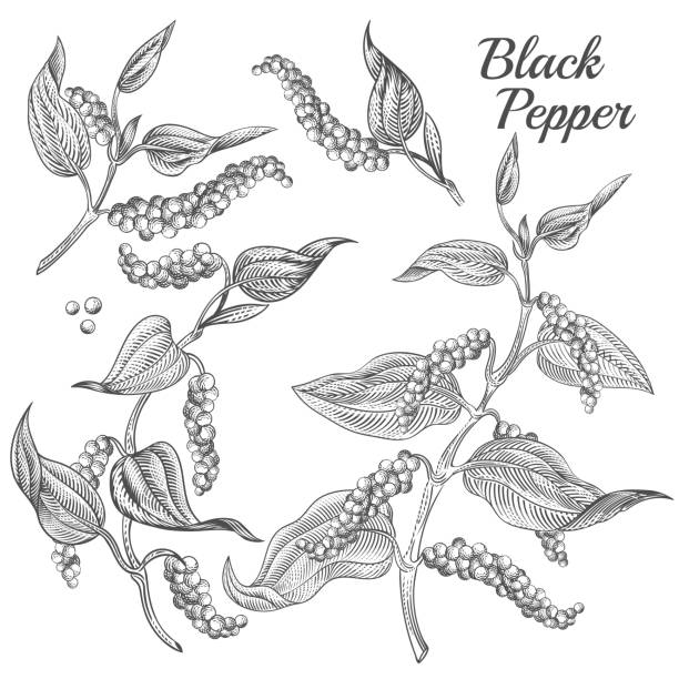 Vector illustration of black pepper plant Vector illustration of black pepper plant with leaves and peppercorns isolated on background. Natural spicy seasoning for eating. Botanical hand drawn sketch for labels and packages in engraving style allspice stock illustrations