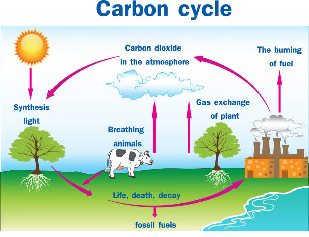 vektor-illustration des kohlenstoffkreislaufs - stoffwechsel stock-grafiken, -clipart, -cartoons und -symbole