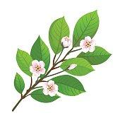 Vector illustration of cherry blossom.