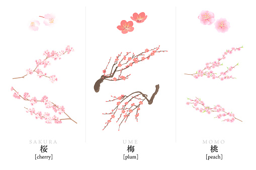 Vector illustration of cherry blossoms, plums and peaches