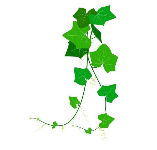 vektor-illustration von coccinia grandis oder grünem efeu isoliert auf weißem hintergrund - flaschenkürbis stock-grafiken, -clipart, -cartoons und -symbole