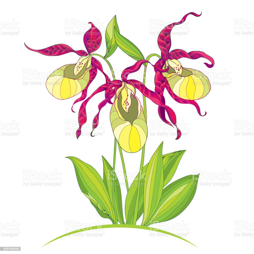 a description of the plant ladys slipper cypripedium Lady's slipper: lady's slipper,  description lady's slipper orchids are usually terrestrial,  the genus cypripedium has about 50 temperate and subtropical.