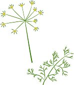 Vector illustration of dill in cartoon simple flat style isolated on white background. Healthy food concept.