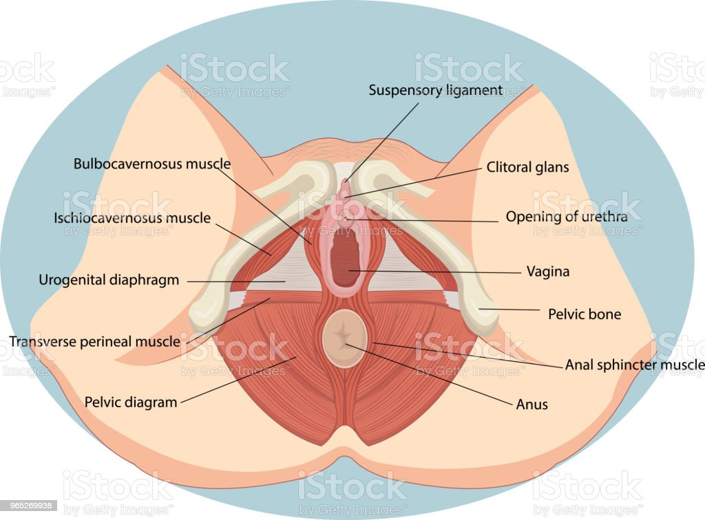 Vector Illustration Of Female Reproductive Muscles Anatomy Stock