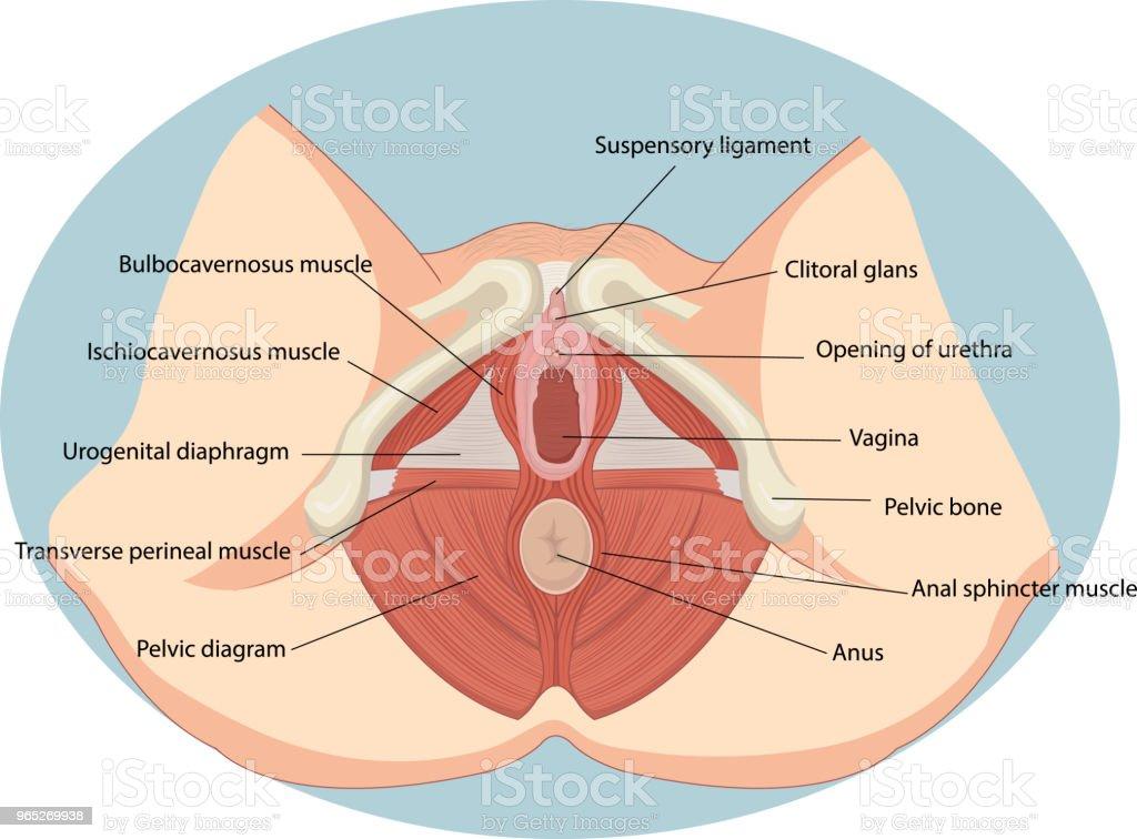 Vector illustration of Female reproductive muscles anatomy vector illustration of female reproductive muscles anatomy - stockowe grafiki wektorowe i więcej obrazów anatomia człowieka royalty-free