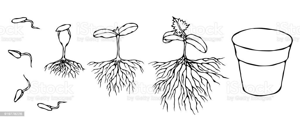 Vektorillustration Von Keim Und Samen Spriessen Mit Wurzeln Im Boden