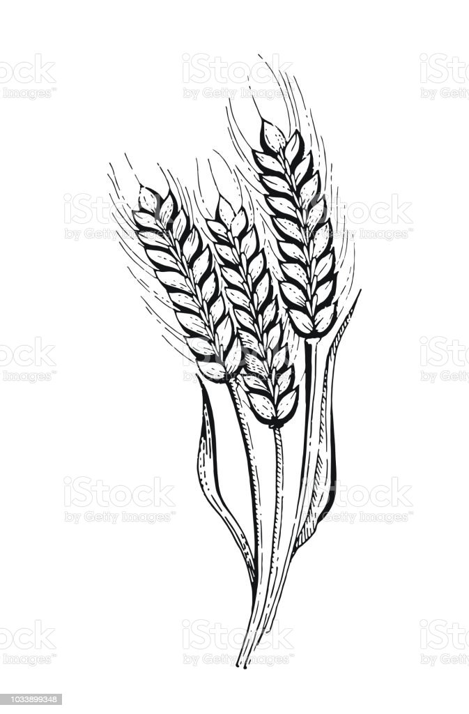 Vector Illustration Of Hand Draw Wheat Ears Stock Vector Art More