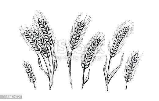 Vector illustration of hand draw wheat ears. Cereal bread sketched concept. Black line art drawing, ear crop isolated on white background. Gluten food ingredient graphics. Engraving vintage icon set