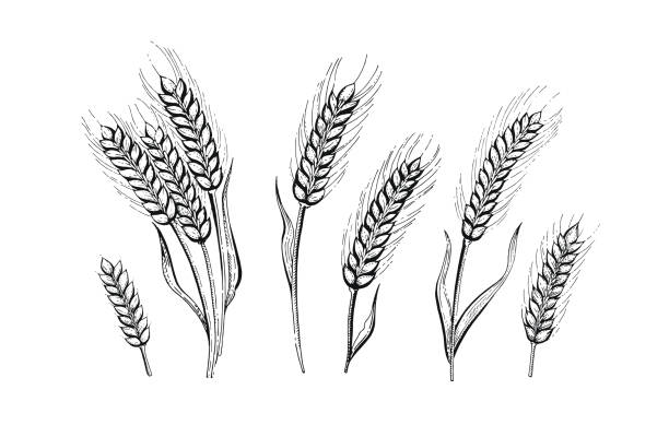 el vektör çizim buğday kulakları çizin. - buğday stock illustrations
