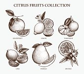 Vector illustration of highly detailed citrus fruits sketch