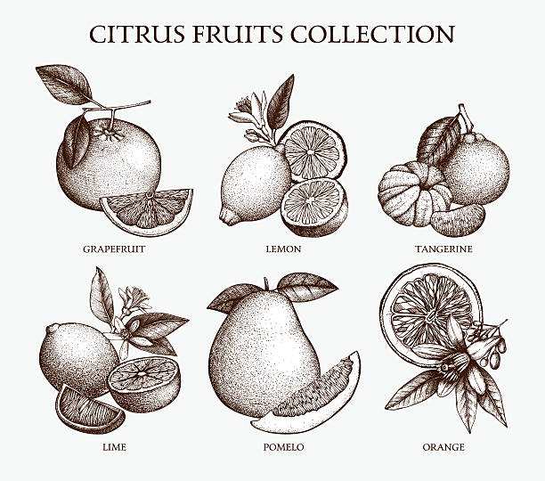Vector illustration of highly detailed citrus fruits sketch Vintage Ink hand drawn collection of citrus fruits isolated on white background. lemon fruit stock illustrations