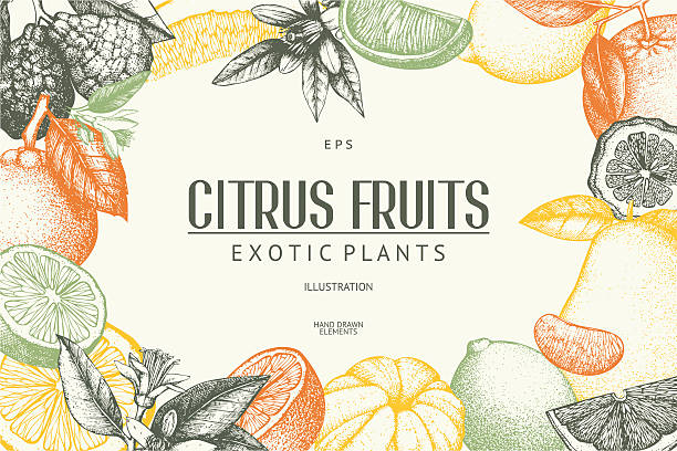 Vector illustration of highly detailed citrus fruits sketch Vintage template. Ink hand drawn design with citrus fruits in pastel colors. citrus fruit stock illustrations