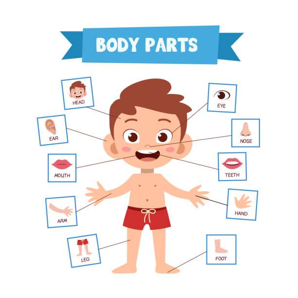 stockillustraties, clipart, cartoons en iconen met vector illustratie van menselijk lichaam - ledematen lichaamsdeel