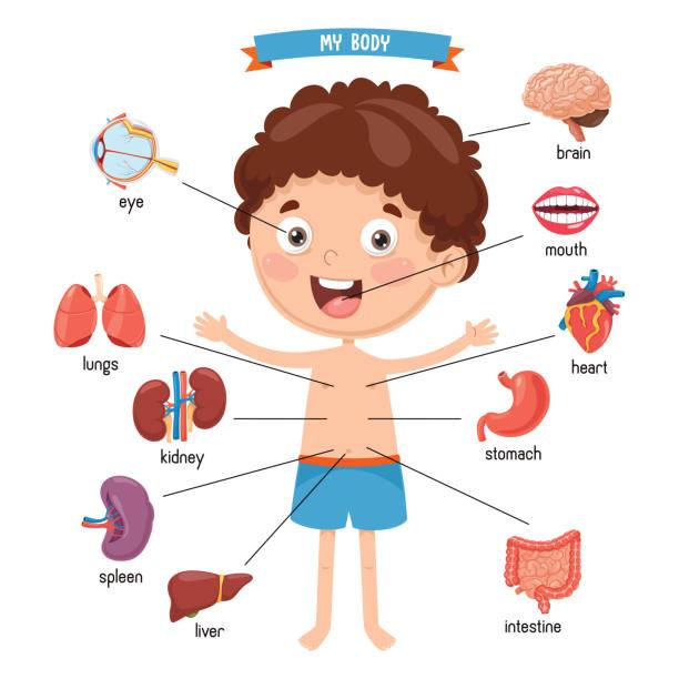 wektorowa ilustracja ludzkiego ciała - ludzkie części ciała stock illustrations