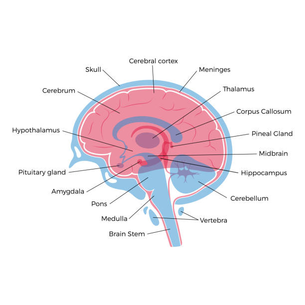 Vector illustration of human brain anatomy Vector isolated illustration of human brain components detailed anatomy. Medical infographics with text captions for poster, educational, science and medical use. Sagittal view of the brain brain stem stock illustrations
