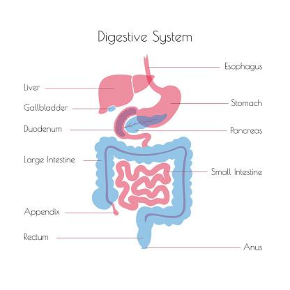 Vector illustration of human digestive system