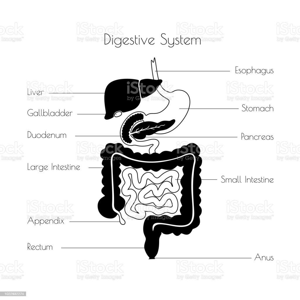 Vector Illustration Of Human Digestive System Stock Vector Art