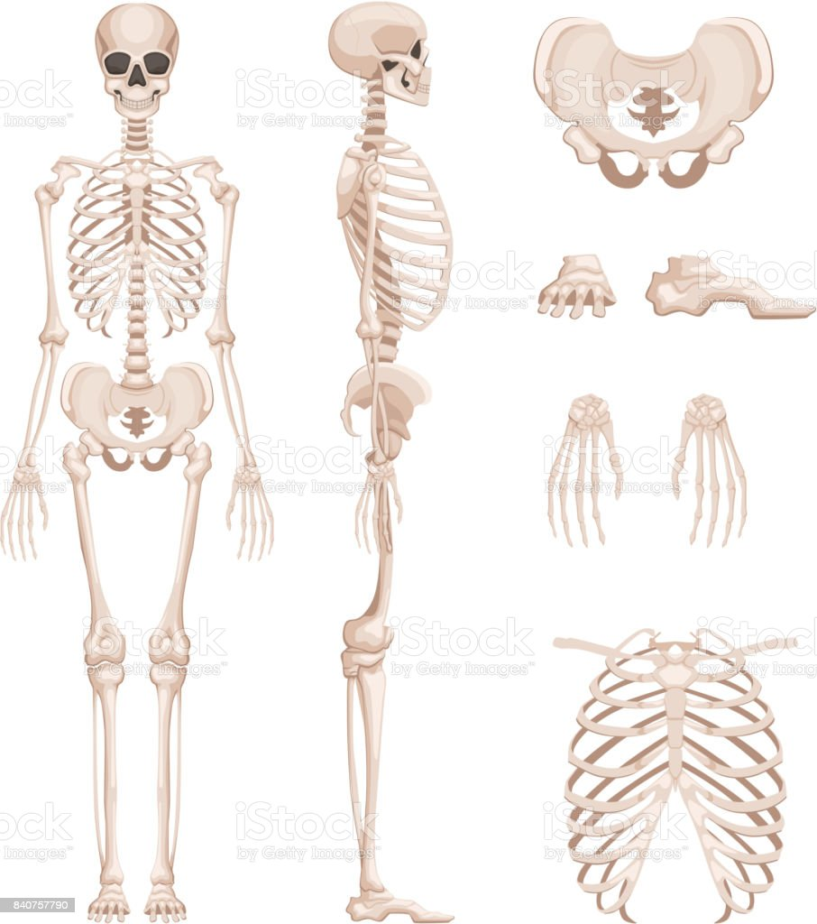 Vector Illustration Of Human Skeleton In Different Sides Bones Of