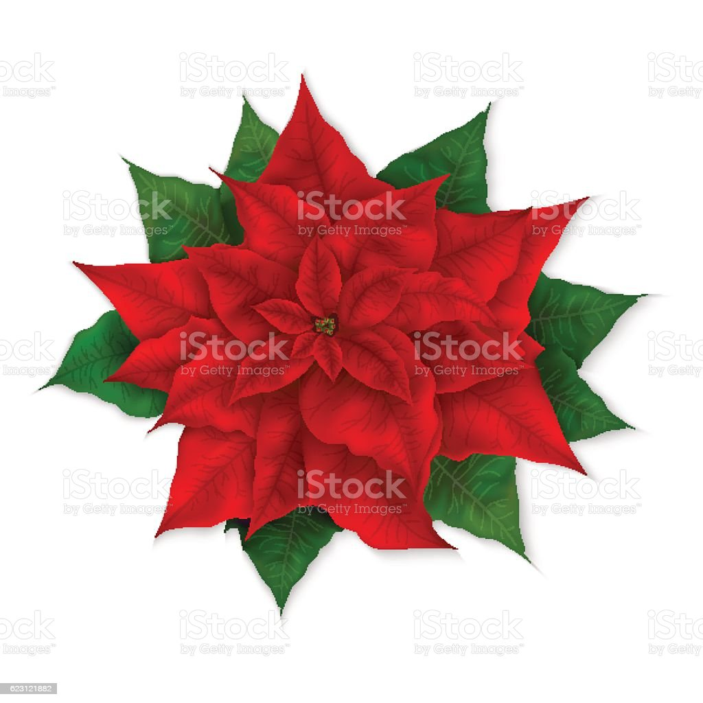 vector illustration of isolated realistic christmas red poinsettia flower vector art illustration