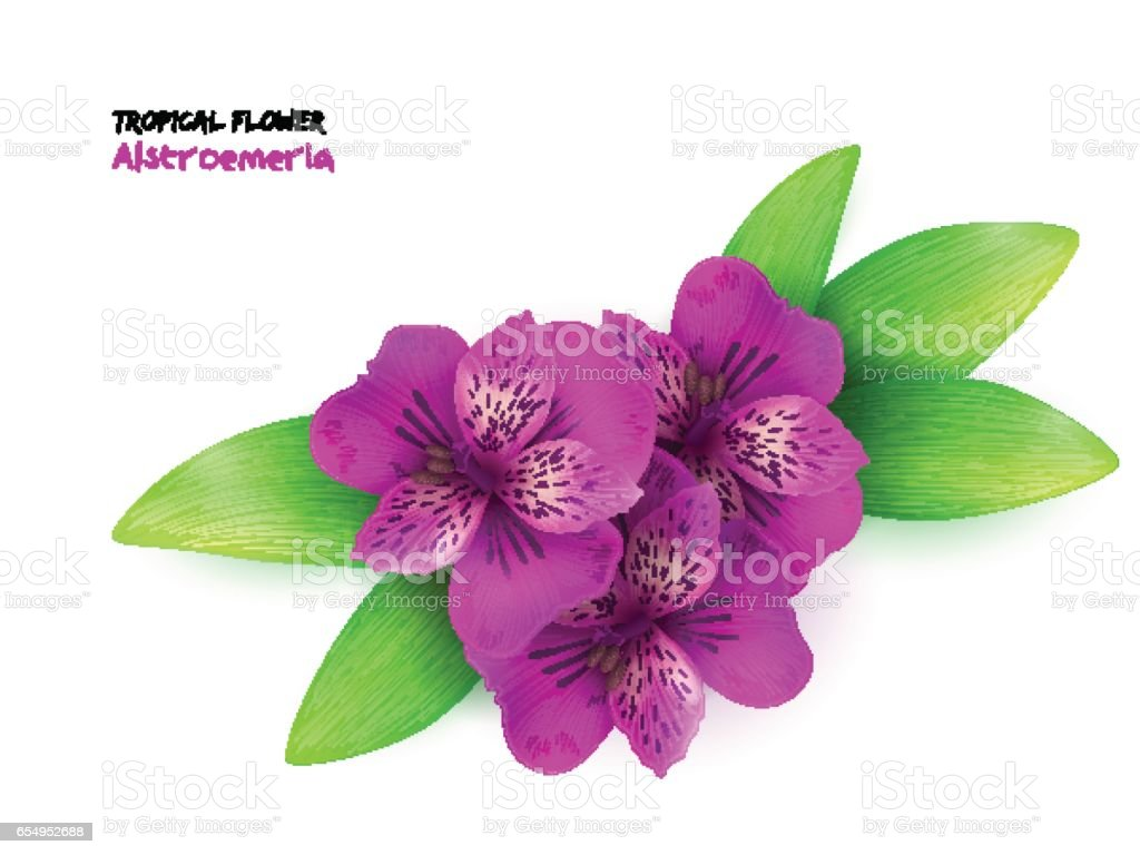 vector illustration of isolated realistic tropical blooming alstroemeria flower with leaves - ilustración de arte vectorial