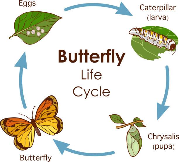 stockillustraties, clipart, cartoons en iconen met vector illustratie van de levenscyclus van het vlinder diagram - larve