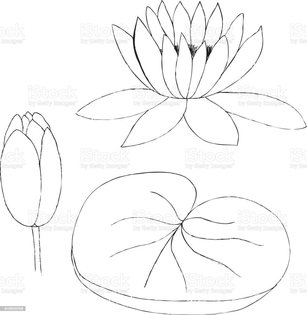 Ilustración de Ilustración De Vector De Capullo De Loto Y Hojas ...