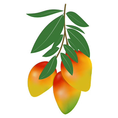 Vector illustration of mango on a white background. Several mangoes on a branch