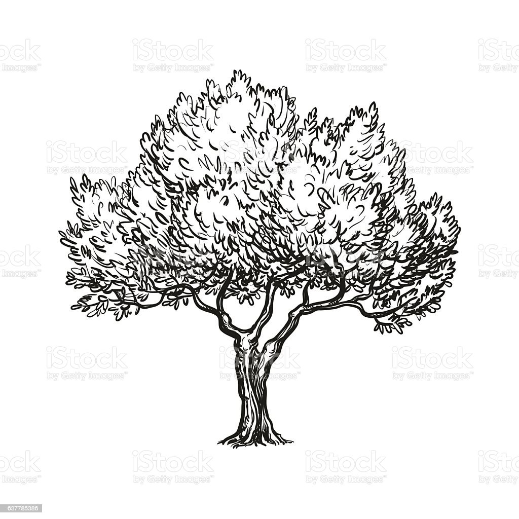Vector Illustration Tree: Vector Illustration Of Olive Tree Stock Vector Art & More