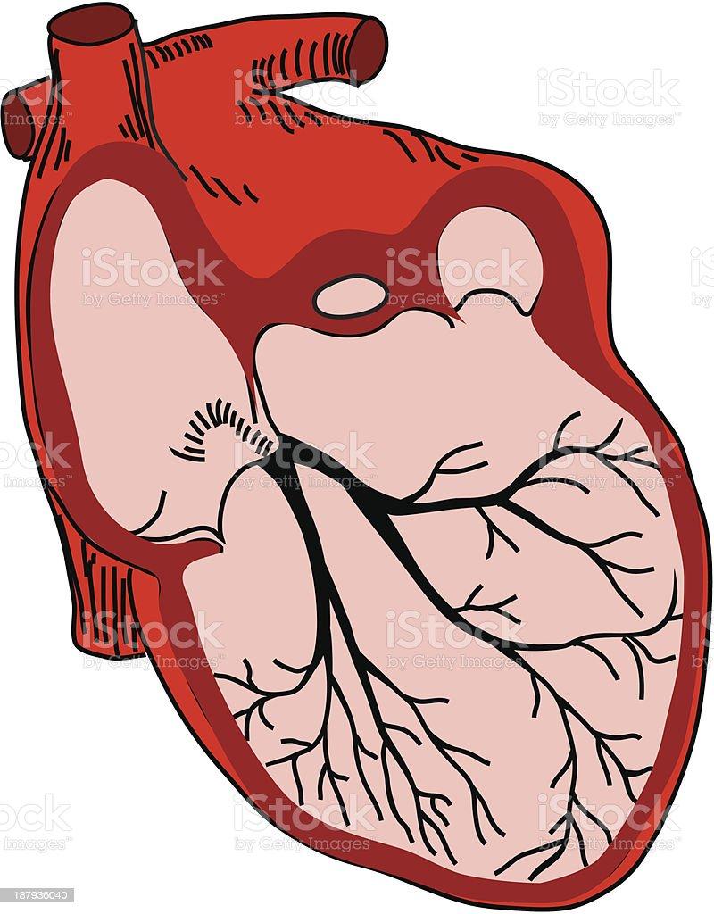 vector illustration of open heart royalty-free stock vector art