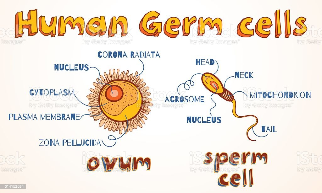 Vector illustration of ovum and sperm cell vector art illustration
