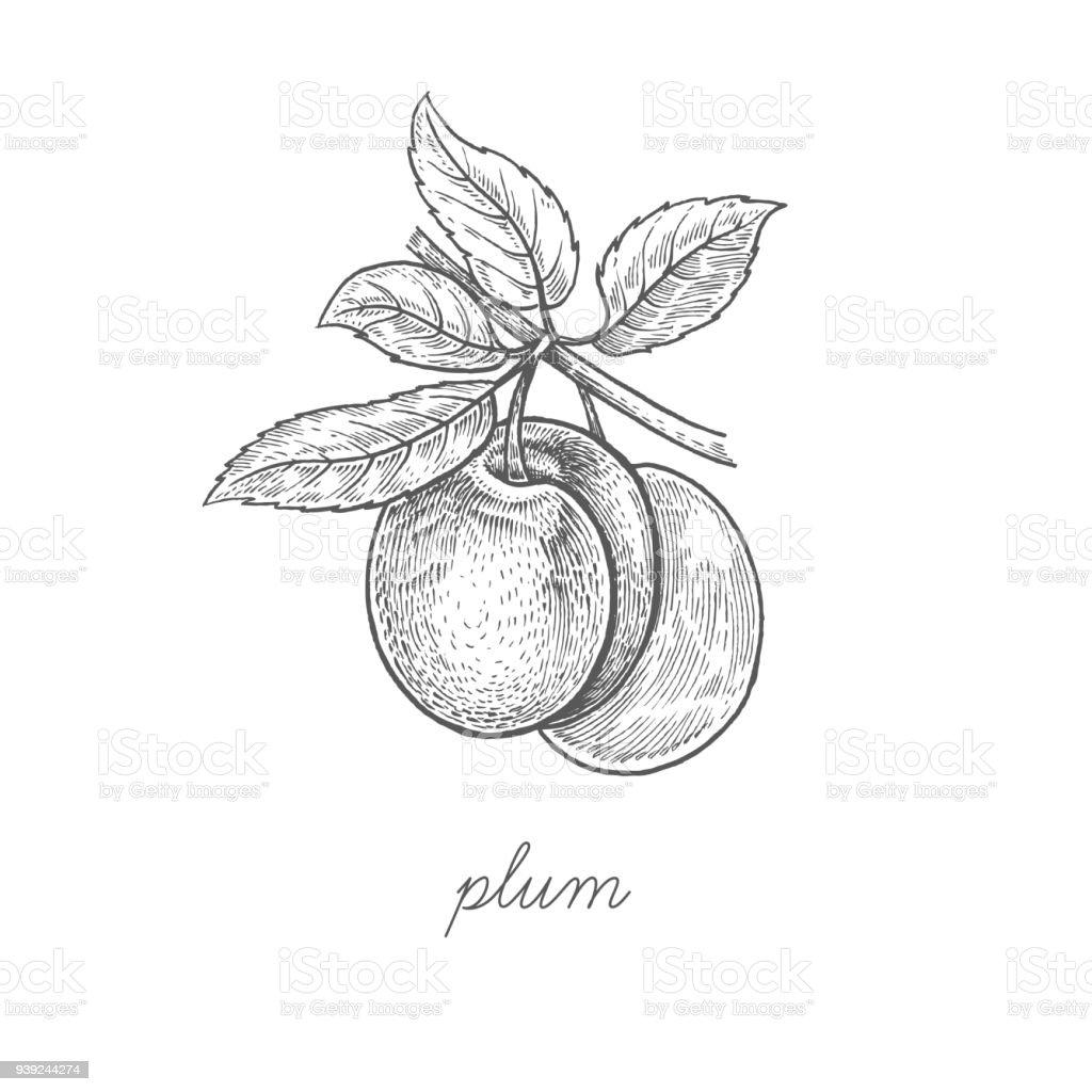 Vector illustration of plum fruit. vector art illustration