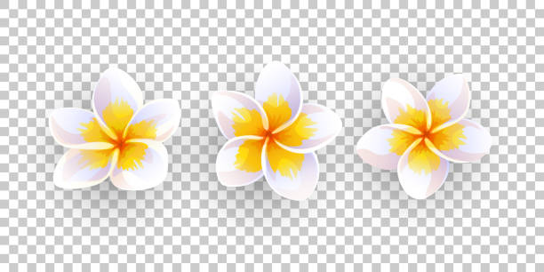 Vector illustration of plumeria flowers. Vector illustration of plumeria flowers isolated frangipani stock illustrations