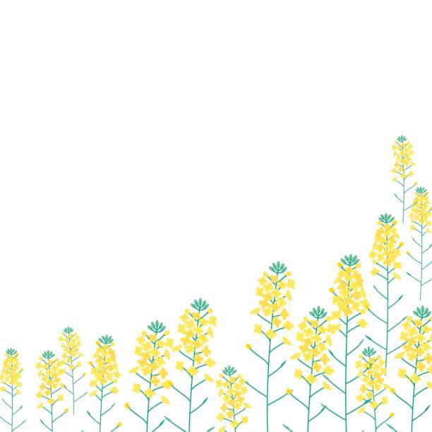 菜の花 イラスト素材 Istock