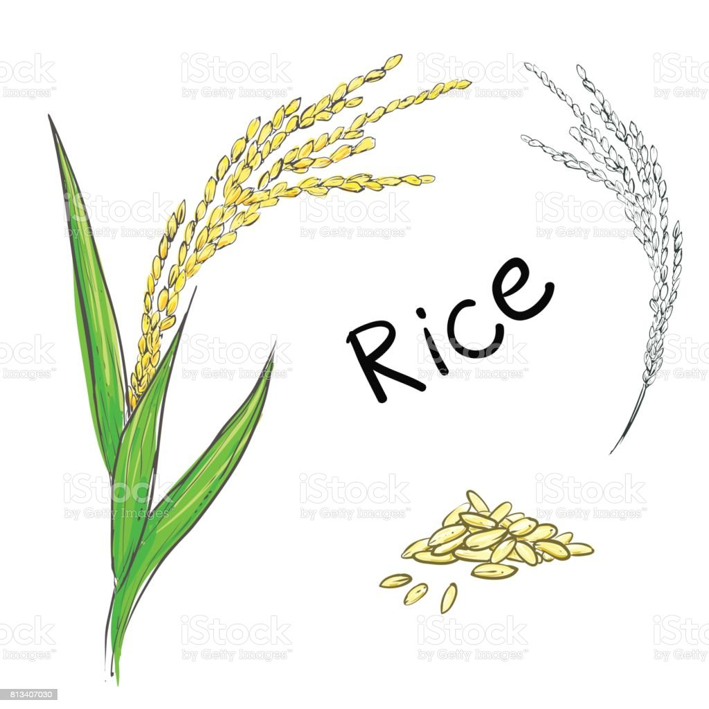 vector illustration of rice plant and grain stock illustration download image now istock vector illustration of rice plant and grain stock illustration download image now istock