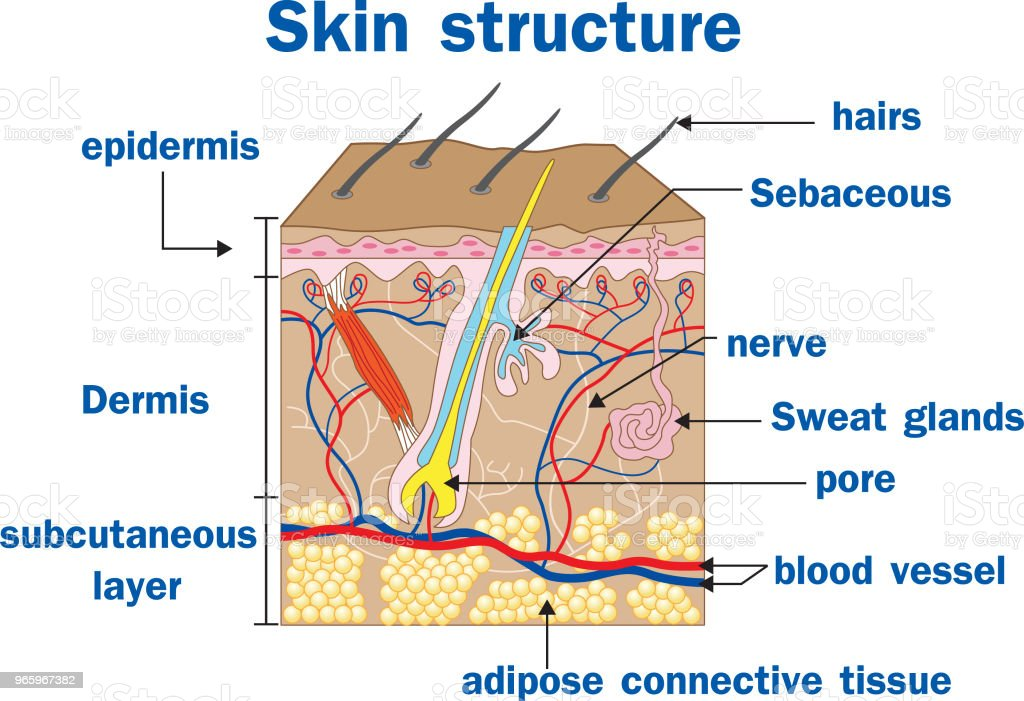 Vector illustration of  Skin structure - Royalty-free Anatomy stock vector
