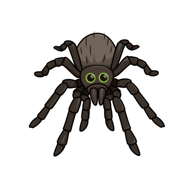 Vector illustration of spider isolated on white background. Vector illustration of spider isolated on white background. tarantula stock illustrations