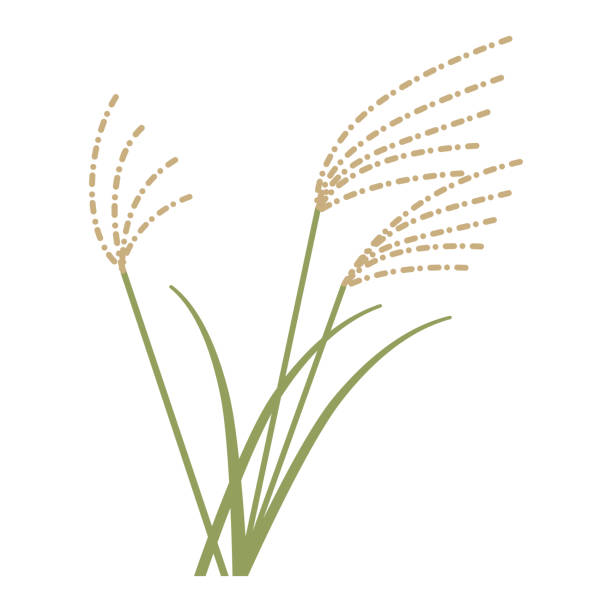illustrazioni stock, clip art, cartoni animati e icone di tendenza di vector illustration of susuki obana kaya rice - miscanthus sinensis