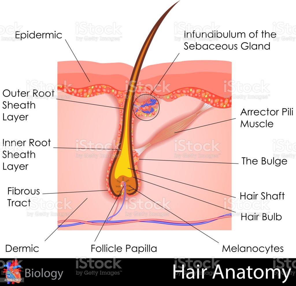 Vector illustration of the anatomy of hair vector art illustration