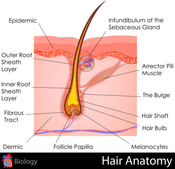 Vector illustration of the anatomy of hair easy to edit vector illustration of human Hair Anatomy root hair stock illustrations