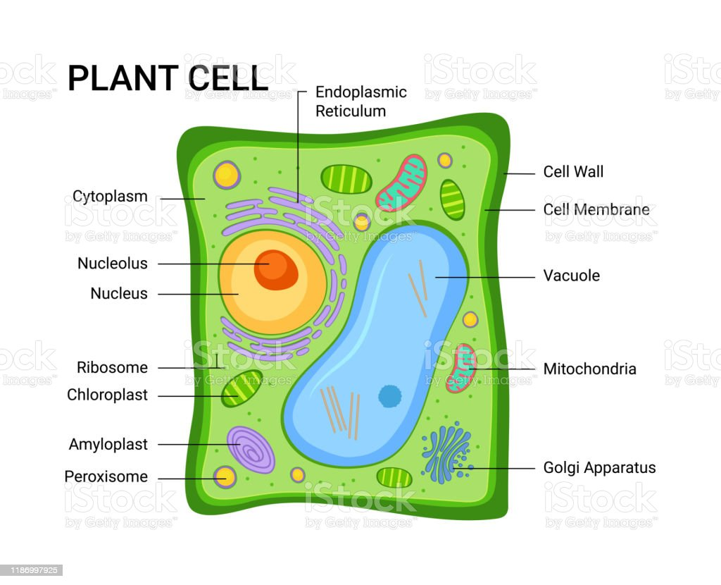 Vector Illustration Of The Plant Cell Anatomy Structure ...