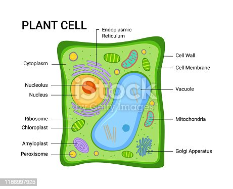 Vector illustration of the Plant cell anatomy structure. Infographic with nucleus, mitochondria, endoplasmic reticulum, golgi apparatus, cytoplasm, wall membrane