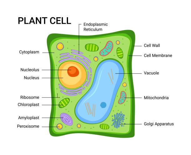 6,012 Plant Cell Illustrations & Clip Art - iStockiStock