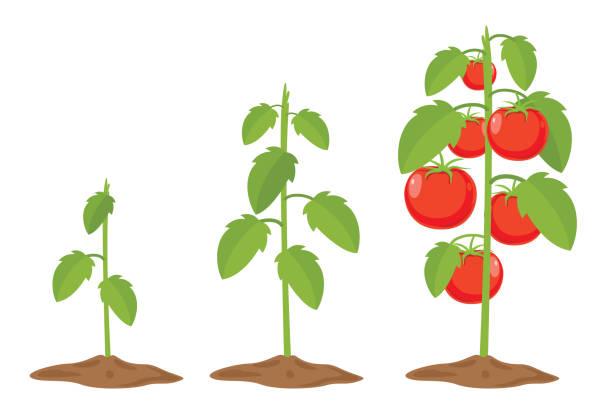 vector illustration of tomatoes - wood texture stock illustrations